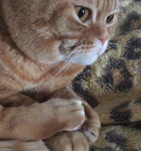 Кот шотландец, Вязка