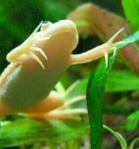 Лягушки шпорцевые