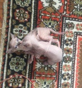 Броня котята донской сфинкс