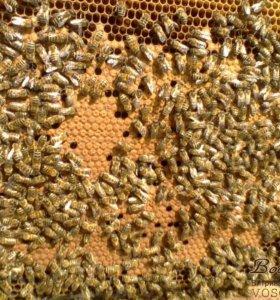 Пчелы Карпатка, Итальянка