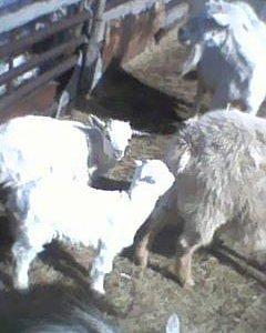 козочки с козлятами
