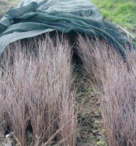 Берёза сеянец семена рябина клён