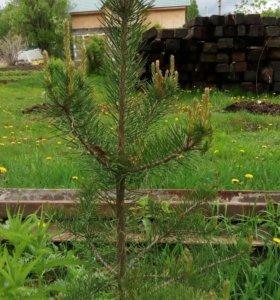 Саженцы для озеленения