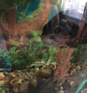 Аквариум, рыба астронотус, сом.