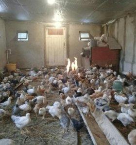 Цветные домашние цыплята здоровые