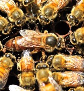 Пчелопакеты и пчеломатки