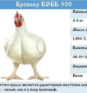 Бройлер КОББ-500, ИЗА Ф-15, РОСС-308