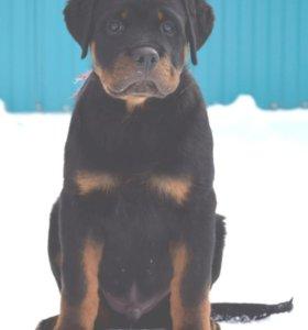 Высокопородный щенок ротвейлера