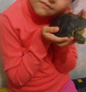 черепаха красноухий