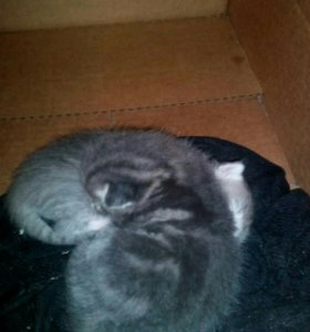 Отдам два котёнка