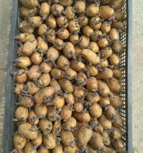 Картофель семенной голландка