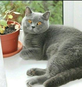 Отдам британского кота