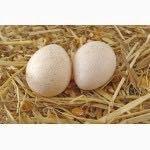 Индюшиное яйцо инкубационное