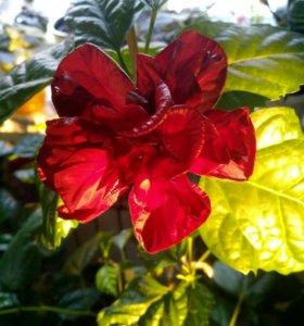 Китайская роза,черенки
