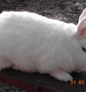 Кролики мясом и живым весом.