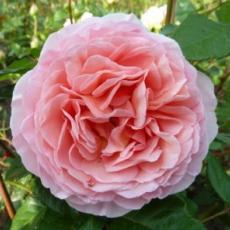 принимаю заявки на саженцы роз с закрытой корневой