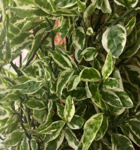 Редкое экзотическое растение Педилантус