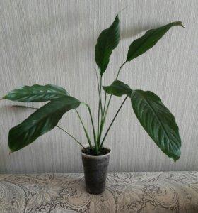 Отростки: спатифилум, бамбук, фикус