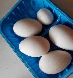 Яйца гусиные