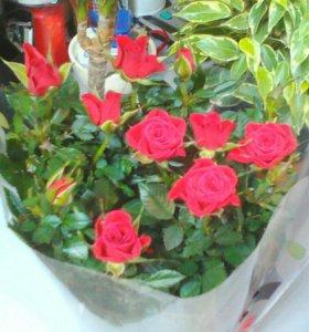 роза кордана красная. Боровск