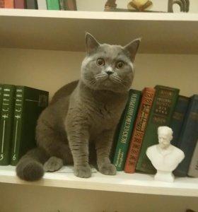 Вязка с умным и красивым шотландским котом