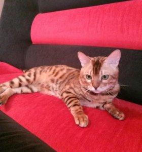 Бенгальский котик