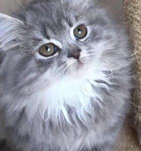 Котята шотландской породы ( Хайленд Страйт)
