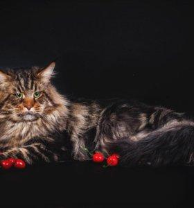 Кот производитель вязка