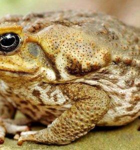 Жаба ага , самец и самка