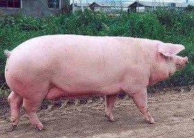 Беру свиньей