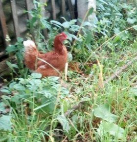 Несушки, молодняк кур и гусей