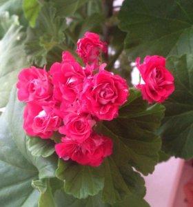 Цветы. Пеларгония.