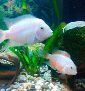 Мальки фламинго (цихлиды, рыбы в аквариум)