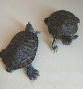 Черепахи красошекие