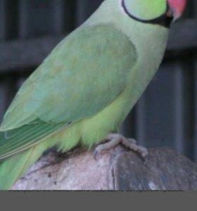 Попугай (Ожереловый)