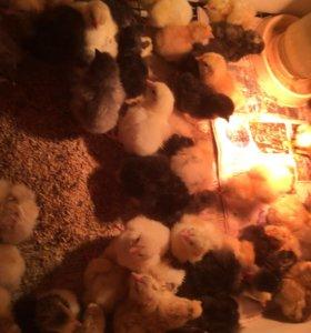 Цыплята,яйцо