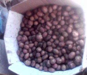 картофель 5 ведер с погреба местный мелкий