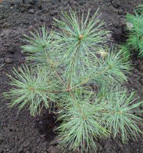 Сосна веймутова 25-30 см