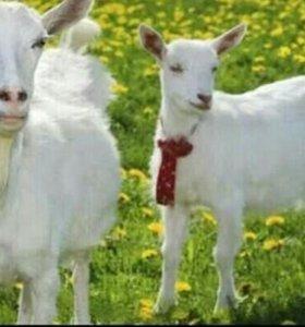 Продаются овцы и козы срочно!