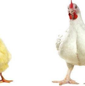 Цыплята бройлеры РОСС-308