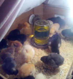 Суточные цыплята молодые петушки