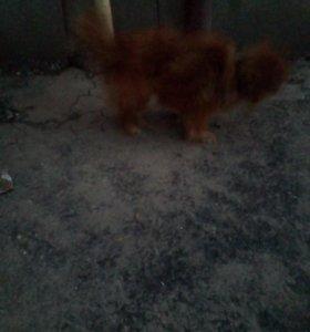 СРОЧНО!!!!!!! Собака рыжая. Отдам в хорошие руки!