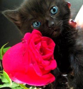 Чёрный котёнок британский