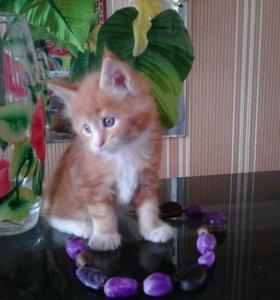 Продаю кота меинкуна