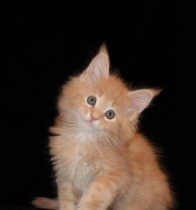 Котёнок Мейн-Кун
