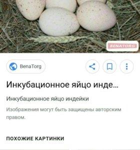 Яйцо индейки