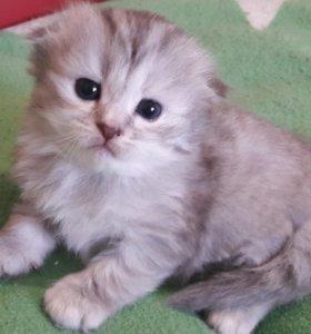 Продам вислоухого котенка