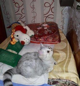 Котёнок-девочка-Скоттиш Страйт Шиншила...