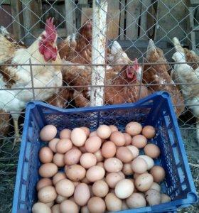 Яйца Куриные Домашние с Доставкой