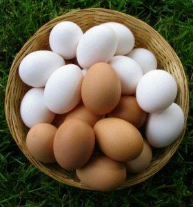 Яйцо домашние